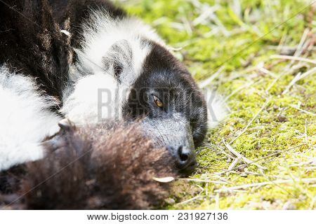 Half-sleeping Lemur