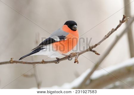 Eurasian (common) Bullfinch (pyrrhula Pyrrhula) Sits On A Branch Of A Wild Apple Tree On A Cloudy Da