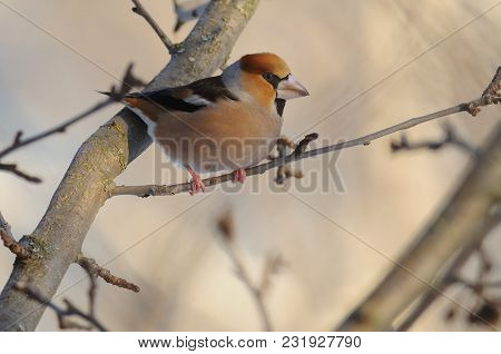 The Hawfinch (coccothraustes Coccothraustes) Perched On A Thin Branch Of A Wild Apple Tree.
