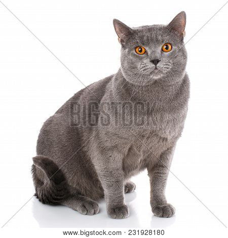 Chartreux Cat On A White Background. Purebred Cat. Well-groomed Kitten. Pet, Comfort, Love And Seren