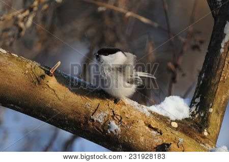 Willow Tit (poecile Montanus) On The Frost Turned Into A Fur Glomerulus.