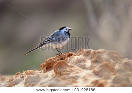 White Wagtail (motacilla Alba) Stands On The Slope Of A Clay Pit.