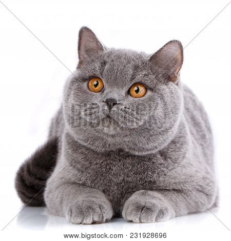 Portrait Big Gray Cat British Straight With Yellow Eyes On A White Background. Look At The Camera