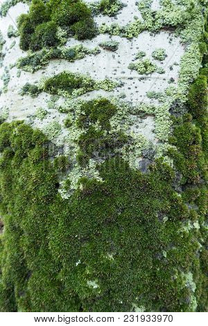 Moss And Lichen On Bark Of Silver Poplar