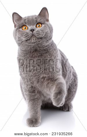 Gray Cat British Straight On A White Background. Purebred Cat.. Well-groomed Kitten. Pet, Comfort, L