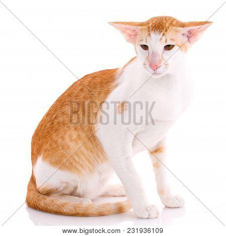Oriental Shorthair Cat Sitting On White Background