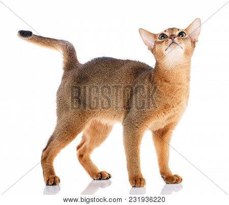 Redhead Cat Abyssyn Standing And Looking Aside Front On A White Background