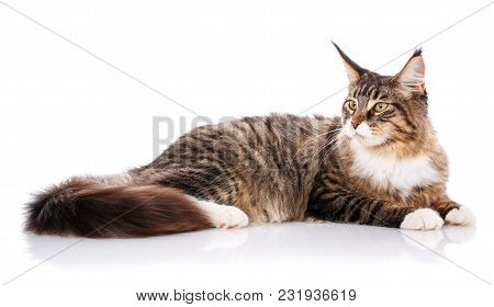 Maine Coon. The Largest Cat. A Big Cat. Maine Coon Cat Lying On White Background