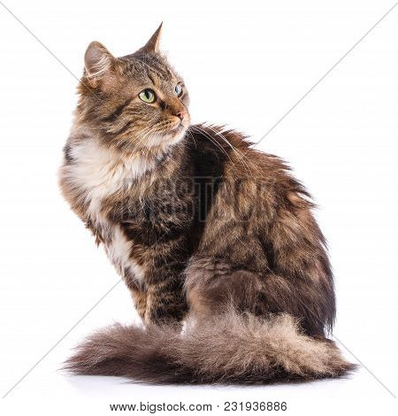 Striped Cat On A White Background. The Cat Sits. Portrait Of A Cat. Studio Photo
