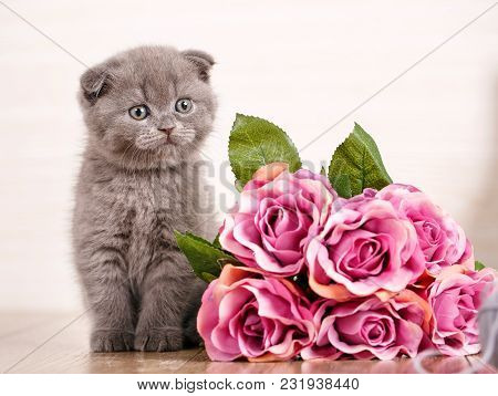 Scottish Kitten Portrait. Cat At Home. Scottish Fold Cat. Purebred Cats. Pet. Playful Kitten