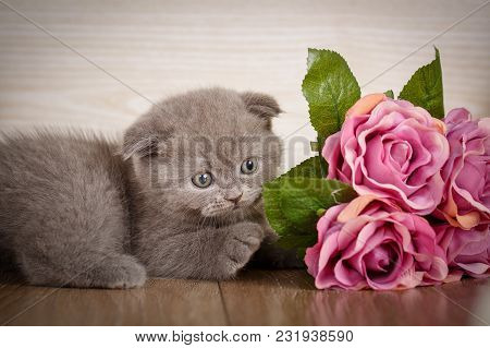 Home, Peace, Calm And Love Concept - Little Playful Scottish Kitten Playing With Flofer Of Rose