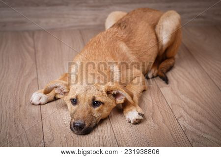 A Sad Red Dog Is On The Boards. The Dog Is Waiting For The Owner. Pets. Dogs Are Friend Of People