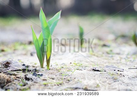 The Seedling Are Growing From The Rich Soil To The Morning Sunlight That Is Shining, Ecology Concept