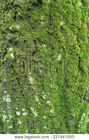 Bark Of Tree Covered With Dense Green Moss And Lichen