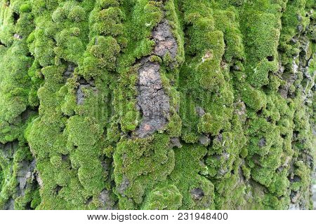 Abele Tree Bark Covered With Green Moss