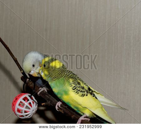 Couple Of Young Budgeigar Parrot Is Sitting On A Branch And Scratch Each Other. The Colors Of The Pa
