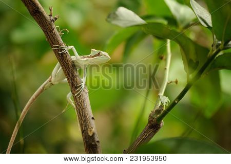 Basilisk . Lizard On Branch In Green Forest. Laemanctus Serratus. Mexican Dragon. Honduras And Guate