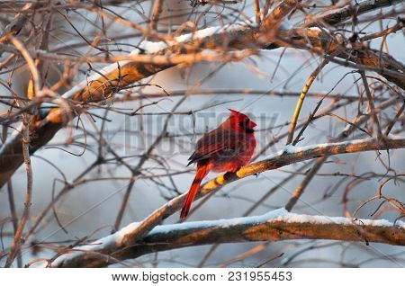 Majestic Red Cardinal Within Bare Branches Of A Bush
