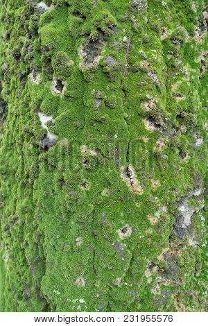 Texture Of Silver Poplar Bark With Moss