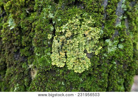 Macro Of Lime Xanthoria Parietina Lichen On Tree Bark Covered With Moss