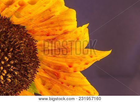 Sunflower Isolated On Purple Background Blooming Sunflowers On A Background Sunflower Blooming