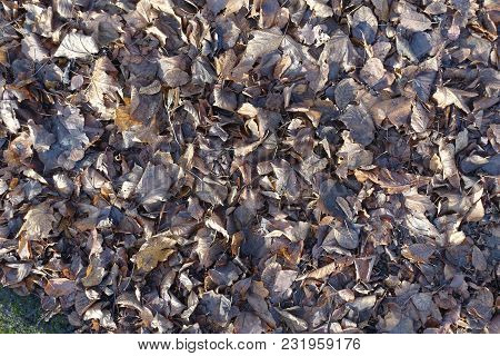 Dull Brown Fallen Leaves In Late Autumn