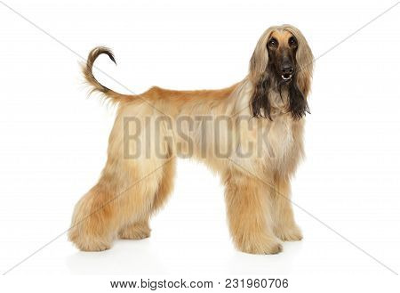 Afghan Hound In Stand