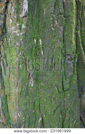 Black Bark Of False Acacia Covered With Moss