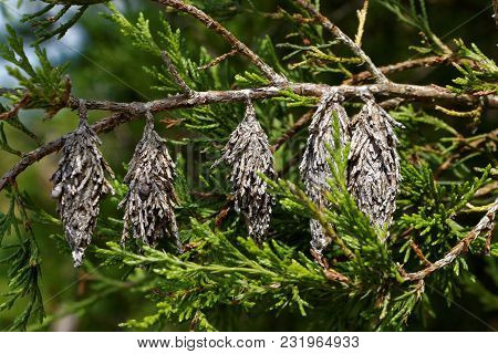 Dried Out Parts Of A Conifer Hanging From A Branch