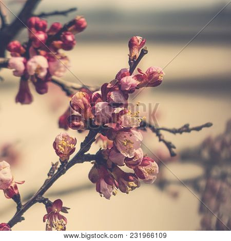 Spring Twig Blossoming Fruit Tree With Beautiful Small Pink Flowers