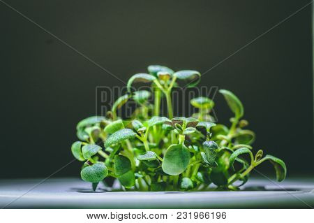 Enlarged Image Of A Little Green Thyme Plant Sprout Growing From Ground In The Smart Farm, Concept O