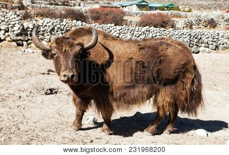 Brown Yak On The Way To Everest Base Camp - Nepal Himalayas