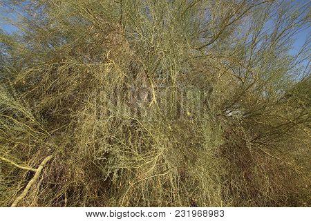 Wild And Untamed Palo Verde Tree Growing In Souhtern California Desert