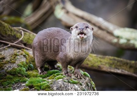 Oriental small-clawed otter standing on the riverbank. This is the smallest otter species in the world and is indigenous to the welands of South and Southeast Asia.