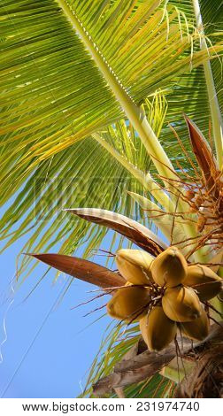 Coconut tree. Tropics. Fruits of coconut. Coconut tree on the sky background