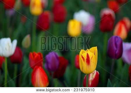 A Field Of Brightly Colored Tulips From A Kansas City, Missouri Public Park.