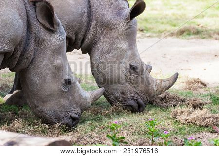 Close Up, Couple Rhino Grazing On Grass Field
