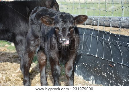 Black Angus Calf With Tongue Sticking Out, Black Shiny Calf With Funny Face, Calf With Tongue Up Nos