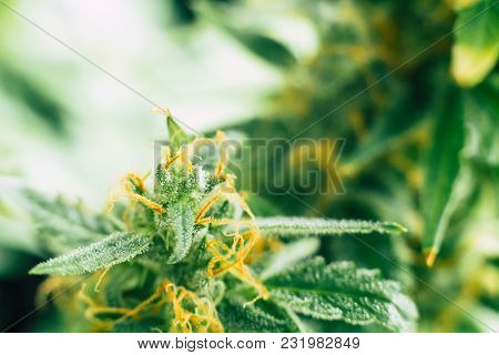 Weed Beautiful Buds Before Harvest. Cannabis Grow Indoor Macro Shot Sugar Trichomes Cbd Thc Concepts