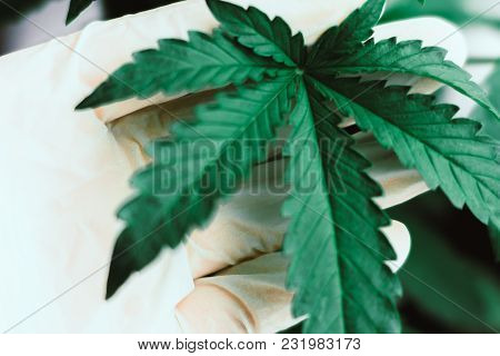 A Leaf Of Marijuana In The Hands Of A Doctor Concepts Of Plant Medical Marijuana Marijuana Leaves, A