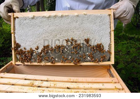 Beehive Showing A Frame Of Honeycomb With Active Bees.
