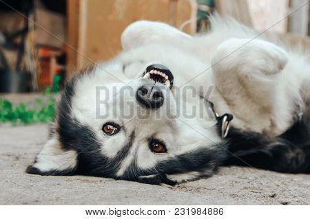 Funny Husky Dog Lying On The Concrete With His Tongue Hanging Out