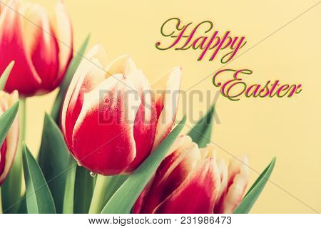 Closeup Of Two Color Tulips, In Red And Yellow, Blooming In Spring. Yellow Background With Happy Eas