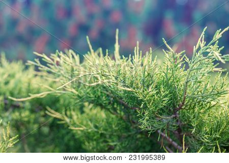 Natural Background Of Green Twigs Of Thuyas, Selective Focus Shallow Depth Of Field