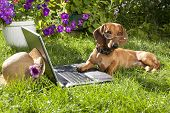 clever dog  dachshund in glasses  and laptop computer poster