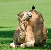 Picture of a camel with a bird on its back. Details with good expression on the camels face as if the camel is saying something to the bird. poster