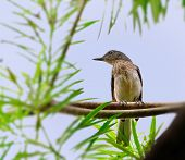 Oriental Magpie Robin juvenile perched green leaves blue sky poster