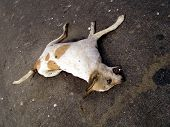 Rotting carcass of a dog killed in a road accident in lucknow india poster
