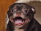 A portrait photo of a happy Mutt. This young puppy is a halfbreed mix of Chihuahua and French Bulldog. The dog appears to be in a state of happiness. poster