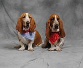 Brother and sister make a cute pair of Basset Hounds. poster